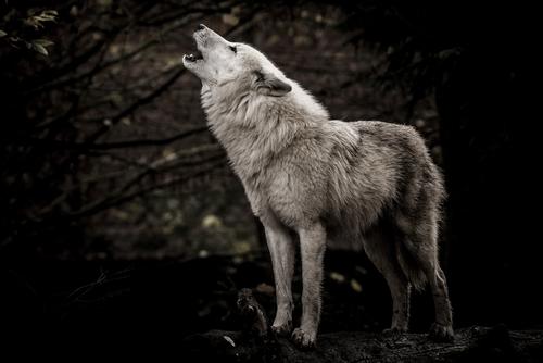 動物占い 相性 狼 ライオン