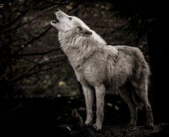 動物占い 狼 ブラウン