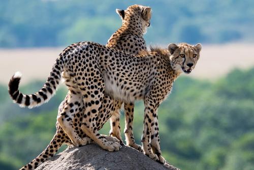 動物占い 相性 トラ チーター