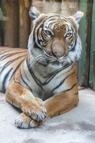 動物占い 虎 仕事