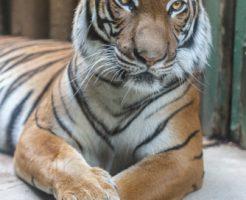 虎 動物占い 女