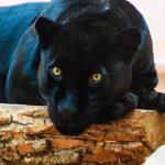 動物占いで相性を知ろう!黒ひょうから見た虎との恋愛相性は?