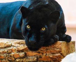 動物占い 相性 虎 黒ひょう