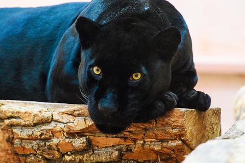 動物占い 相性 コアラ 黒ひょう