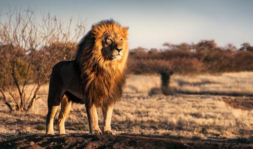動物占い ライオン 色
