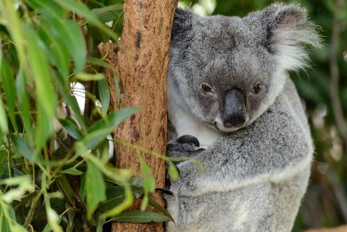 動物占い 相性 狼 コアラ