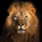 人気のある黒ヒョウにとってのライオンは、動物占いでどんな相性なのか?