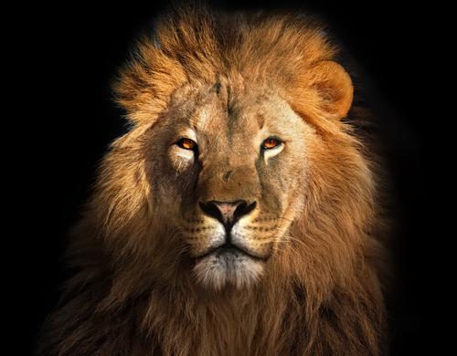 動物占い 相性 ライオン 黒ヒョウ