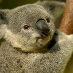動物占いで相性を知ろう!コアラとひつじの相性は?