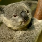 コアラと診断されたレッドタイプの人について!動物占い