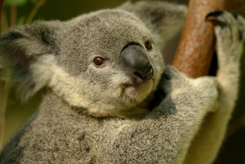 動物占い コアラ レッド