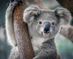 動物占いの相性は?コアラと猿の恋愛を知ろう! |  …